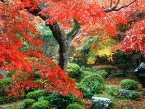 Garden with Maple Trees in Enkouin Temple, Autumn, Kyoto, Japan
