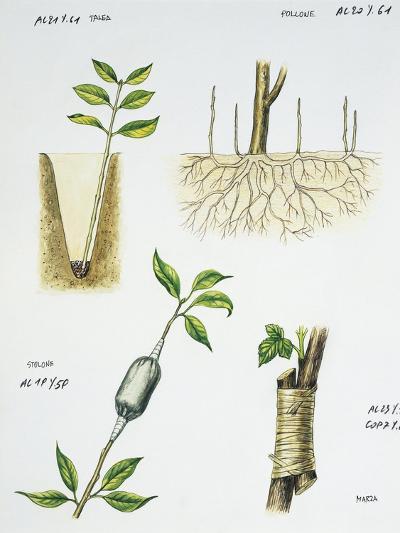 Gardening, Cutting, Sucker Multiplication Technique, Layering, Approach Grafting--Giclee Print