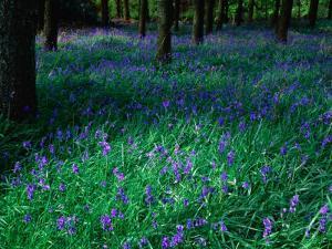 Bluebell (Nemophila) in Woodland at Baronscourt, Tyrone, Northern Ireland by Gareth McCormack