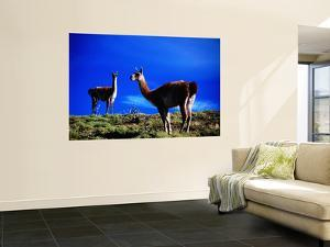 Guanacos Pausing from Grazing by Gareth McCormack