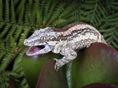 Gargoyle Gecko (Rhacodactylus Auriculatus), Captive-Michael Kern-Photographic Print
