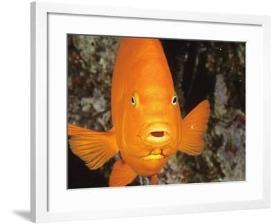 Garibaldi, Catalina, California, USA-Georgienne Bradley-Framed Photographic Print