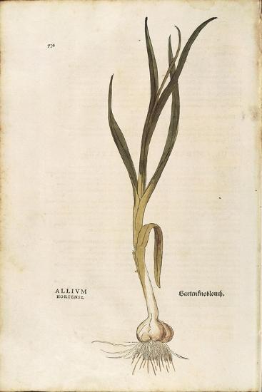 Garlic - Allium Sativum (Allium Hortense) by Leonhart Fuchs from De Historia Stirpium Commentarii I--Giclee Print