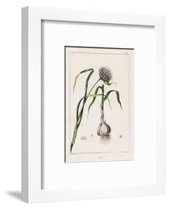 Garlic Showing the Purple Flower and the Bulb
