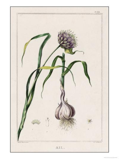 Garlic Showing the Purple Flower and the Bulb--Giclee Print