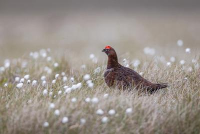 A Male Red Grouse (Lagopus Lagopus) on the Ground in North Yorkshire Moors National Park, Yorkshire
