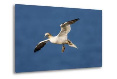 Gannet (Morus Bassanus) in Flight Above the Sea at Bempton Cliffs, Yorkshire, England