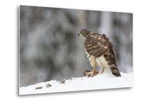 Juvenile Goshawk (Accipiter Gentilis) in Snow with its Prey Beneath Talons by Garry Ridsdale