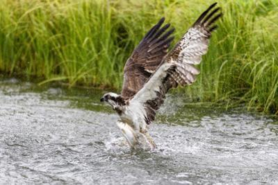 Osprey (Pandion Haliaetus) Exiting a Small Pond with its Huge Wings Extended