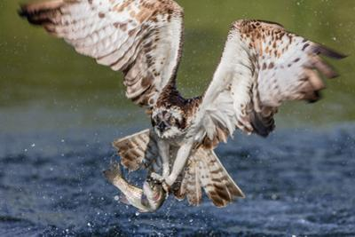 Osprey (Pandion Haliaetus) Flying Head on Above a Pond with a Fish Firmly Grasped in its Talons
