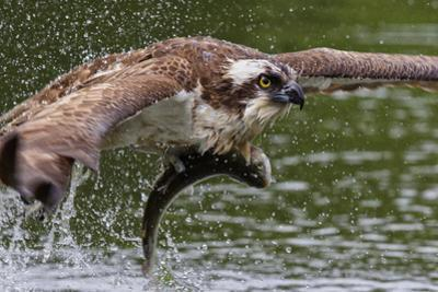 Osprey (Pandion Haliaetus) Flying Low Above the Water with a Freshly Caught Fish in its Grasp