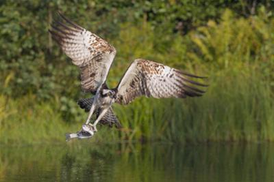 Osprey (Pandion Haliaetus) Leaving a Fishing Pool with Wings Arched