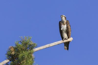 Osprey (Pandion Haliaetus) Perched at End of a Long Branch Extending from Pine Tree, Orleans Forest