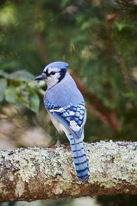 Blue Jay by Gary Carter