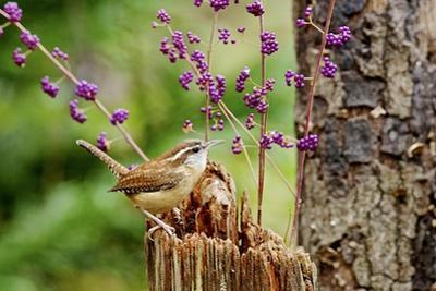 Carolina Wren by Gary Carter