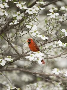 Close-up of Cardinal in Blooming Tree by Gary Carter