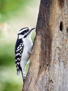 Downy Woodpecker by Gary Carter