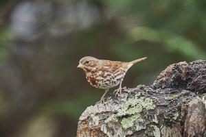 Fox Sparrow by Gary Carter