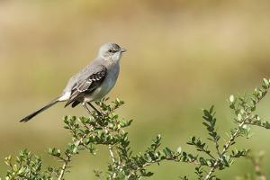 Mockingbird by Gary Carter