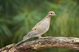 Mouring Dove by Gary Carter