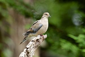 Mourning Dove by Gary Carter