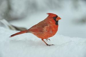 Northern Cardinal by Gary Carter