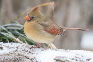 Nothern Cardinal by Gary Carter