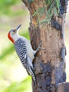 Red-Beilled Woodpecker by Gary Carter