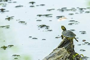 Slider (Turtle) by Gary Carter