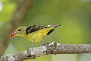 Summer Tanager by Gary Carter