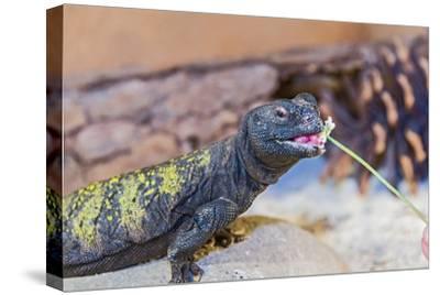Uromastyx Lizard