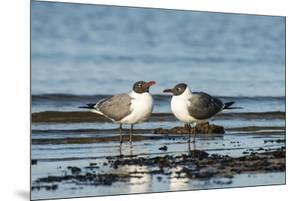 View of Laughing Gull Standing in Water by Gary Carter