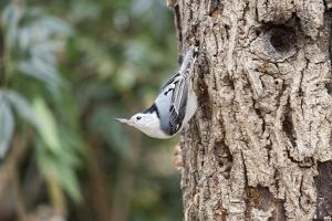 White-Breasted Nuthatch by Gary Carter