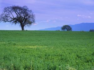 A Tree on a Hillside in Santa Barbara by Gary Conner
