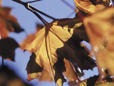 Autumn Color of Maple Leaves, CO