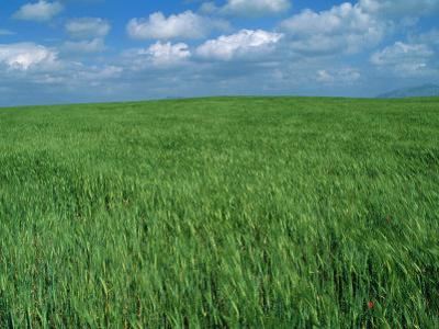 Wheat Fields Near Antequera, Spain