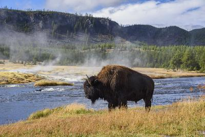 American Bison (Bison Bison), Little Firehole River, Yellowstone National Park, Wyoming, U.S.A.