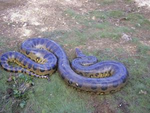 Anaconda Snake, Los Llanos Near Mantecal, Venezuela by Gary Cook