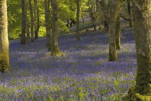 Bluebells in Carstramon Wood, Dumfries and Galloway, Scotland, United Kingdom, Europe by Gary Cook