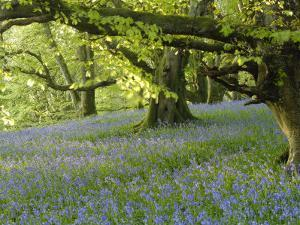Bluebells in Carstramon Wood, Fleet Valley, Dumfries and Galloway, Scotland by Gary Cook