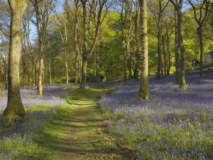 Bluebells on the Forest Floor Along a Path in Carstramon Wood, Dumfries and Galloway, Scotland, UK by Gary Cook