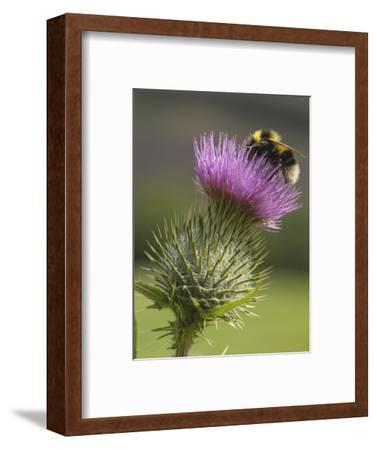 Bumblebee (Bombus) Nectaring on a Spear or Bull Thistle (Cirsium Vulgare), Scotland, UK