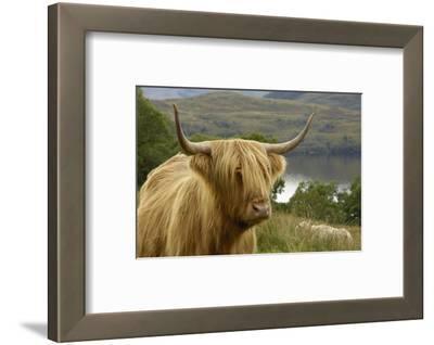 Highland Cattle Above Loch Katrine, Loch Lomond and Trossachs National Park, Stirling, Scotland, UK