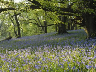 Meadow of Bluebell Flowers (Endymion Non-Scriptus) on the Forest Floor under Beech Trees by Gary Cook