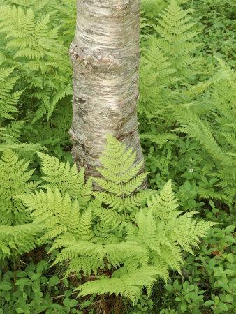 Silver Birch Trees and Ferns, Near Tromso, Norway, Scandinavia