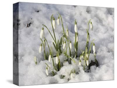 Snowdrops (Galanthus Nivalis) in Winter Snow