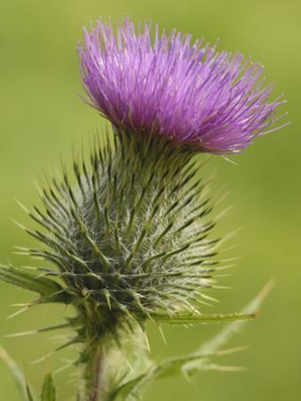 Spear or Bull Thistle (Cirsium Vulgare), Scotland, UK by Gary Cook