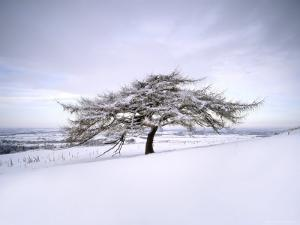 Tree in Winter Snow, North York Moors National Park, North Yorkshire, England by Gary Cook