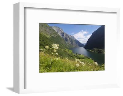 Wildflower Meadow Overlooking Naeroyfjorden, Sogn Og Fjordane, UNESCO World Heritage Site, Norway