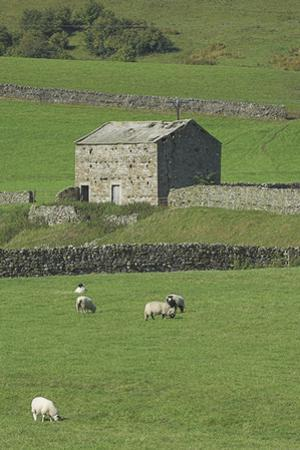 Yorkshire Dales Barn With Dry Stone Walls And Sheep, UK
